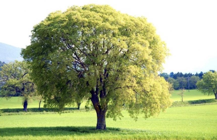 Un Villaggio per Crescere a Milano: l'albero Bagolaro* racconta